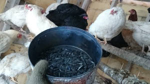 biochar and chickens